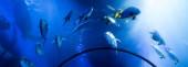 Fotografie ryby plavající pod vodou v akváriu s modrým osvětlením, panoramatický záběr
