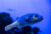 fish swimming under water in aquarium with blue neon lighting