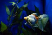 Fényképek aranyhal úszás víz alatt az akváriumban zöld növény