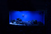 fish swimming under water near starfishes and corals in aquarium with blue lighting