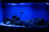 fish swimming under water in aquarium with blue lighting and starfishes