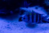 csíkos hal úszás víz alatt az akváriumban kék világítással