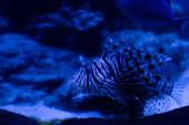Exotische Streifenfische schwimmen unter Wasser im Aquarium mit blauer Beleuchtung