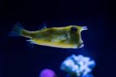 exotické žluté ryby plavající pod vodou v akváriu