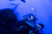 Photo exotic fish swimming under water in aquarium with blue neon lighting