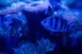 pruhované ryby plavající pod vodou v akváriu s modrým osvětlením