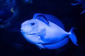 Fényképek egzotikus halak úszás víz alatt az akváriumban kék neon világítás