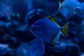 Fényképek egzotikus halak úszás víz alatt sötét akváriumban kék világítással