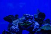 exotické korály pod vodou v akváriu s modrým neonovým osvětlením
