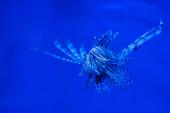 Exotische gestreifte Fische schwimmen unter Wasser im Aquarium mit blauer Neonbeleuchtung