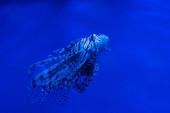 Fényképek egzotikus csíkos hal úszás víz alatt akváriumban kék neon világítás