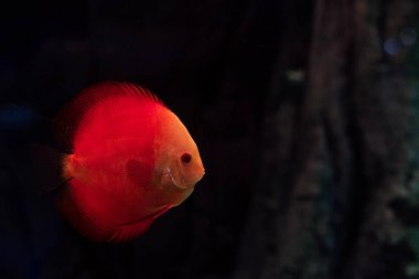 Red fish swimming under water in dark aquarium stock vector