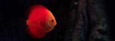 Red fish swimming under water in dark aquarium, panoramic shot stock vector