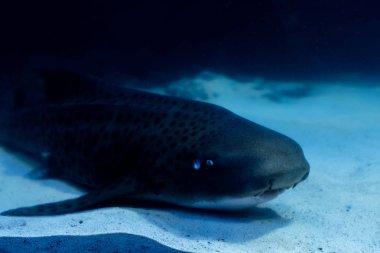 Wels catfish swimming under water in dark aquarium