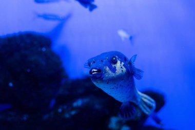Exotic fish swimming under water in aquarium with blue neon lighting stock vector