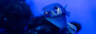 Exotic fish swimming under water in aquarium with blue neon lighting, panoramic shot stock vector