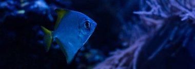 Exotic fish swimming under water in dark aquarium with blue lighting, panoramic shot stock vector