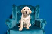 roztomilý zlatý retrívr štěně v velour křeslo na modrém pozadí
