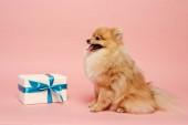 imádnivaló pomeranian spitz dog születésnapi ajándék rózsaszín