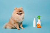 Photo fluffy pomeranian spitz dog with spray bottles and rubber duck on blue
