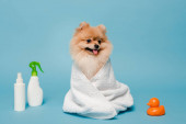 Photo little pomeranian spitz dog wrapped in towel on blue with spray bottles and rubber duck