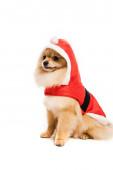szőrös pomerániai köpködő kutya télapó jelmezben fehér