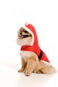 entzückender Pommerscher Spitzhund im Weihnachtsmannkostüm zur Weihnachtszeit auf weiß