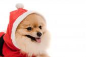 pomeranian spitz pes v kostýmu Santa na Vánoce izolované na bílém