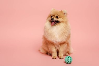 Adorable pomeranian spitz dog with ball on pink stock vector