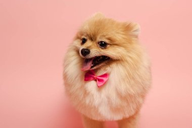 Furry pomeranian spitz dog with cute bow tie standing on pink stock vector