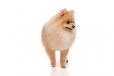 Cute pomeranian spitz dog standing on white stock vector