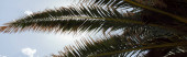 Bottom view of branches of palm tree with sky at background, panoramic shot