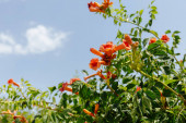 Selective focus of plant with orange flowers and blue sky at background