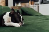 Photo cute french bulldog sleeping on sofa in living room