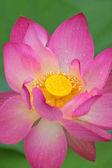 krásné růžové Lotosový květ