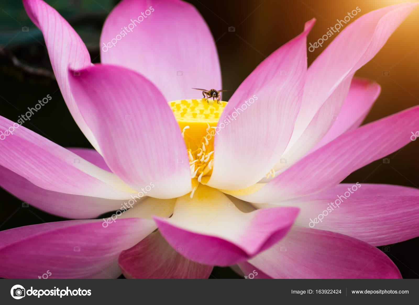 Se Florece La Flor De Loto Rosa Foto De Stock Noppharatth