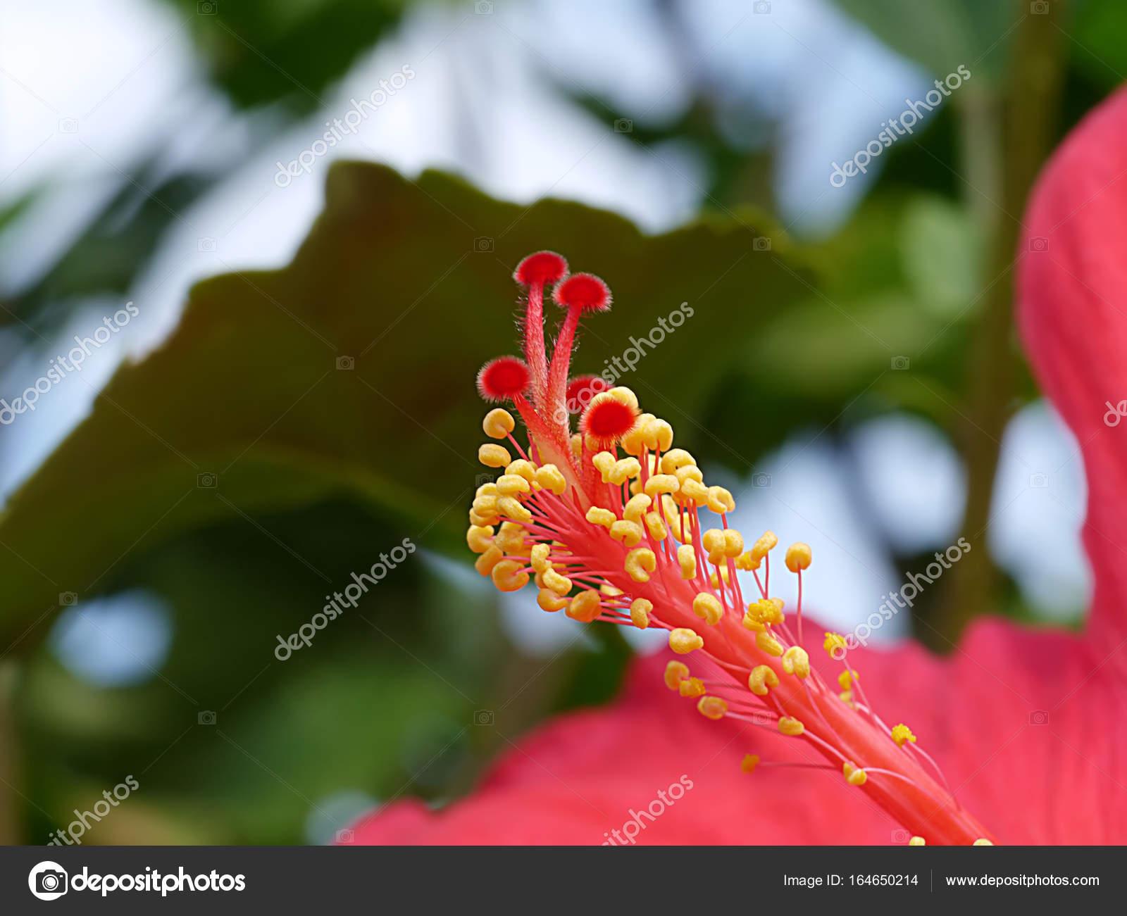 Red hibiscus flowers and yellow stamens stock photo red hibiscus flowers and yellow stamens stock photo mightylinksfo
