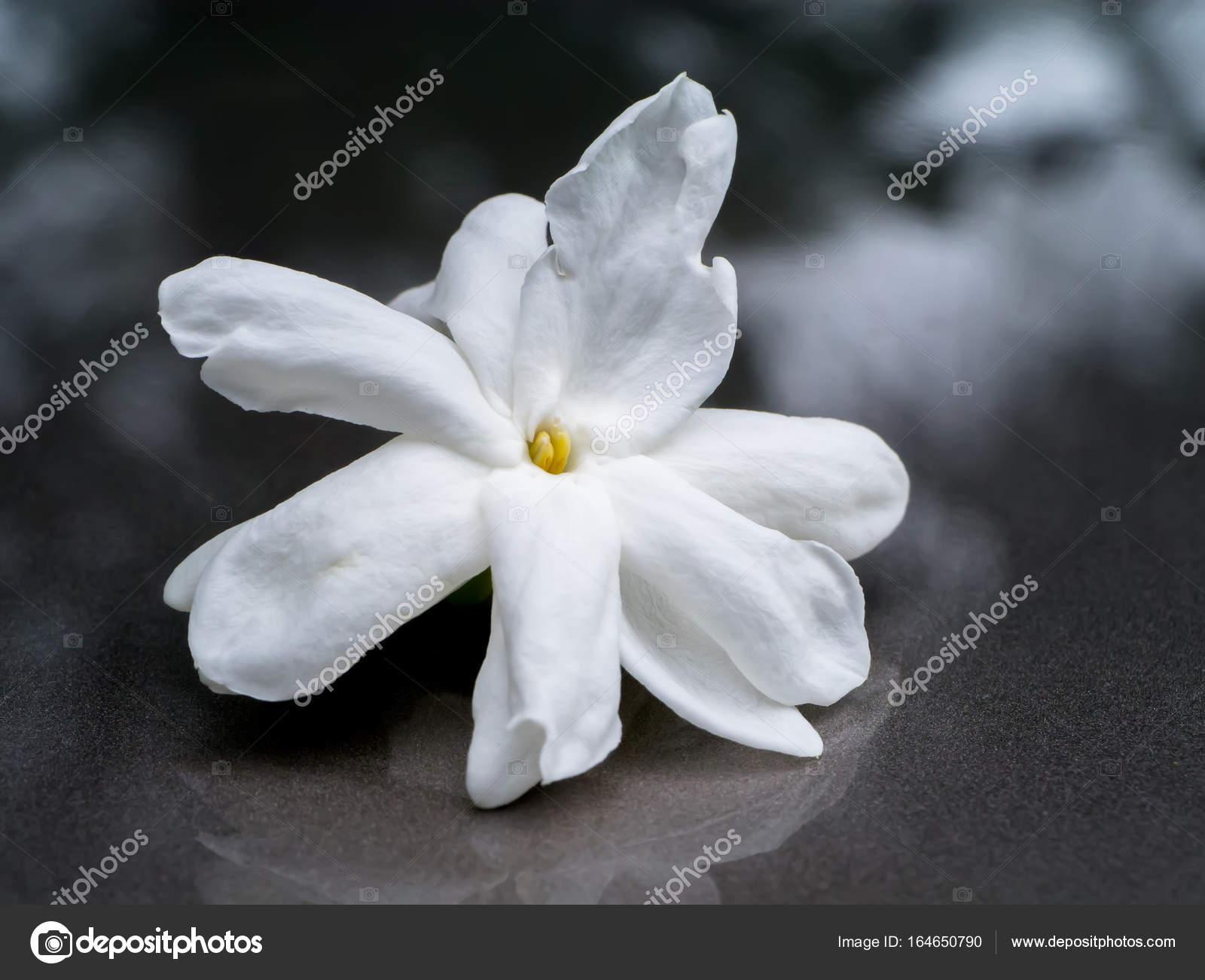 White Of Jasmine Flower Stock Photo C Noppharat Th 164650790