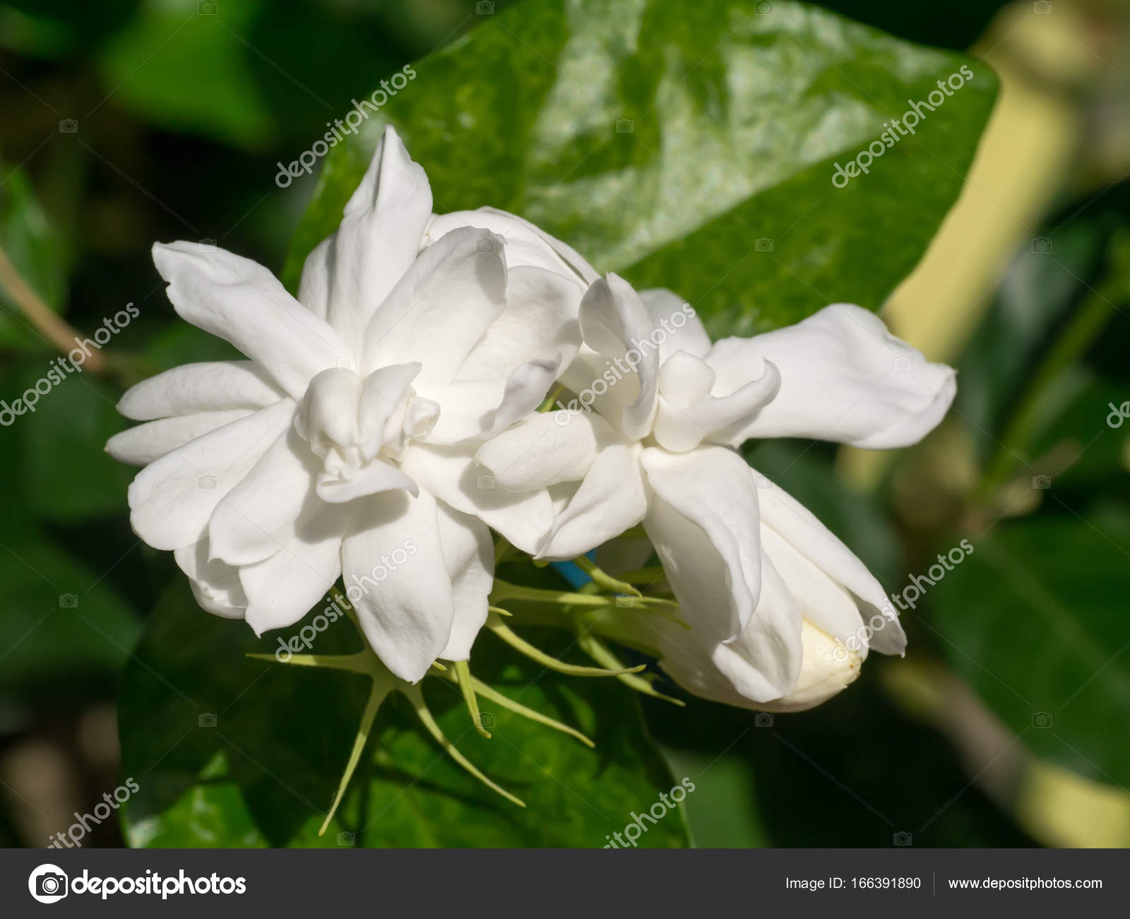 White Of Jasmine Flower Stock Photo Noppharatth 166391890