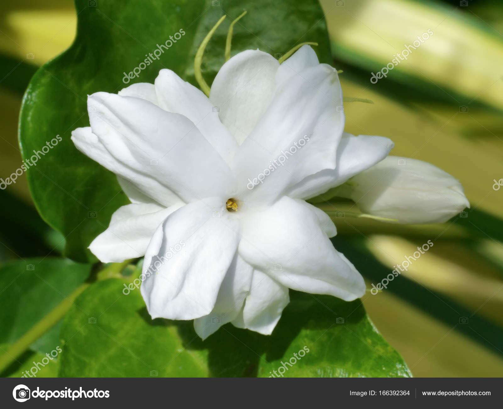 White Of Jasmine Flower Stock Photo Noppharatth 166392364