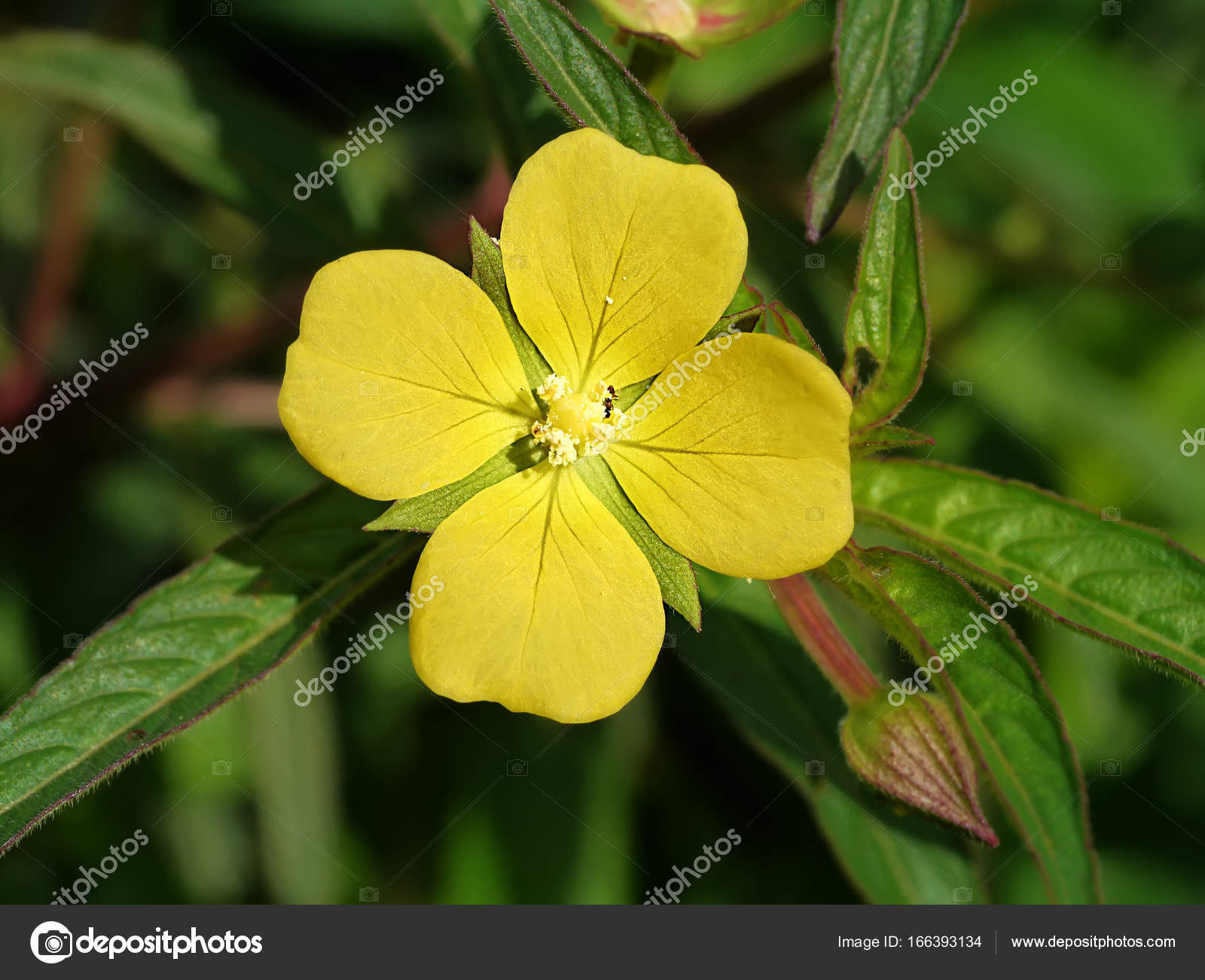 Yellow flowers have four petals stock photo noppharatth 166393134 yellow flowers have four petals stock photo mightylinksfo