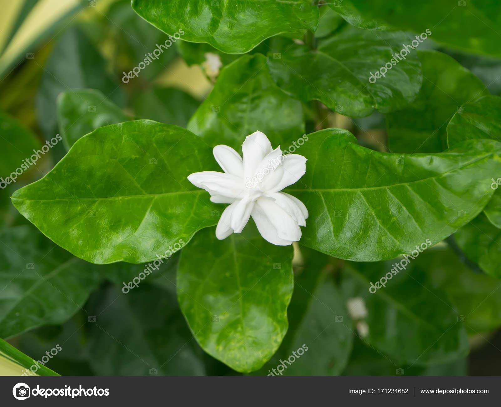 White Of Jasmine Flower Stock Photo Noppharatth 171234682
