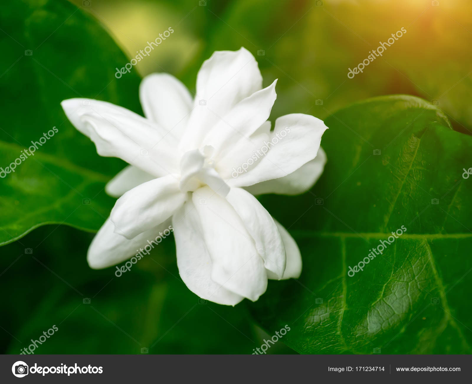 White Of Jasmine Flower Stock Photo Noppharatth 171234714