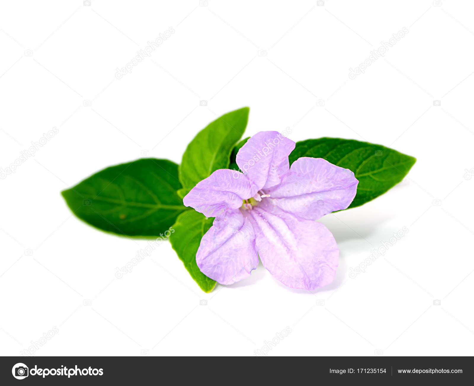 Purple flowers on a white background with green leaves. — Stock ...
