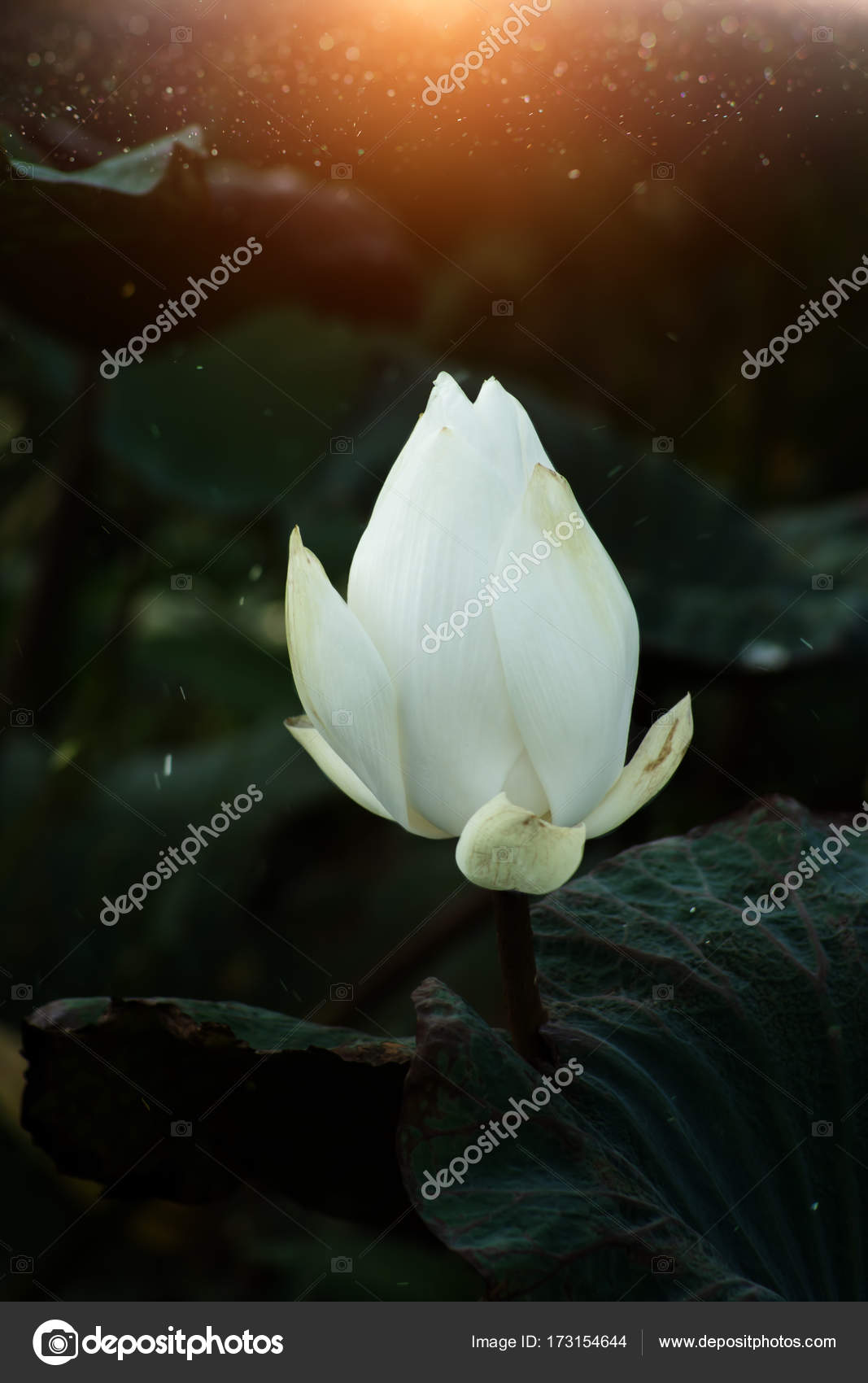 Beautiful white lotus flower stock photo noppharatth 173154644 beautiful white lotus flower and leaf in the dark background with floating dust photo by noppharatth izmirmasajfo