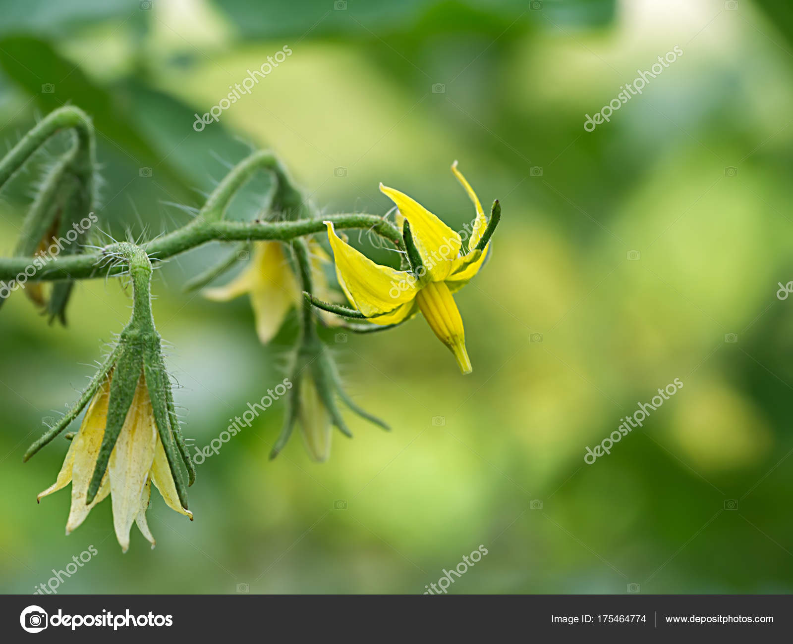 The flower of tomato plant stock photo noppharatth 175464774 the flower of tomato plant stock photo mightylinksfo