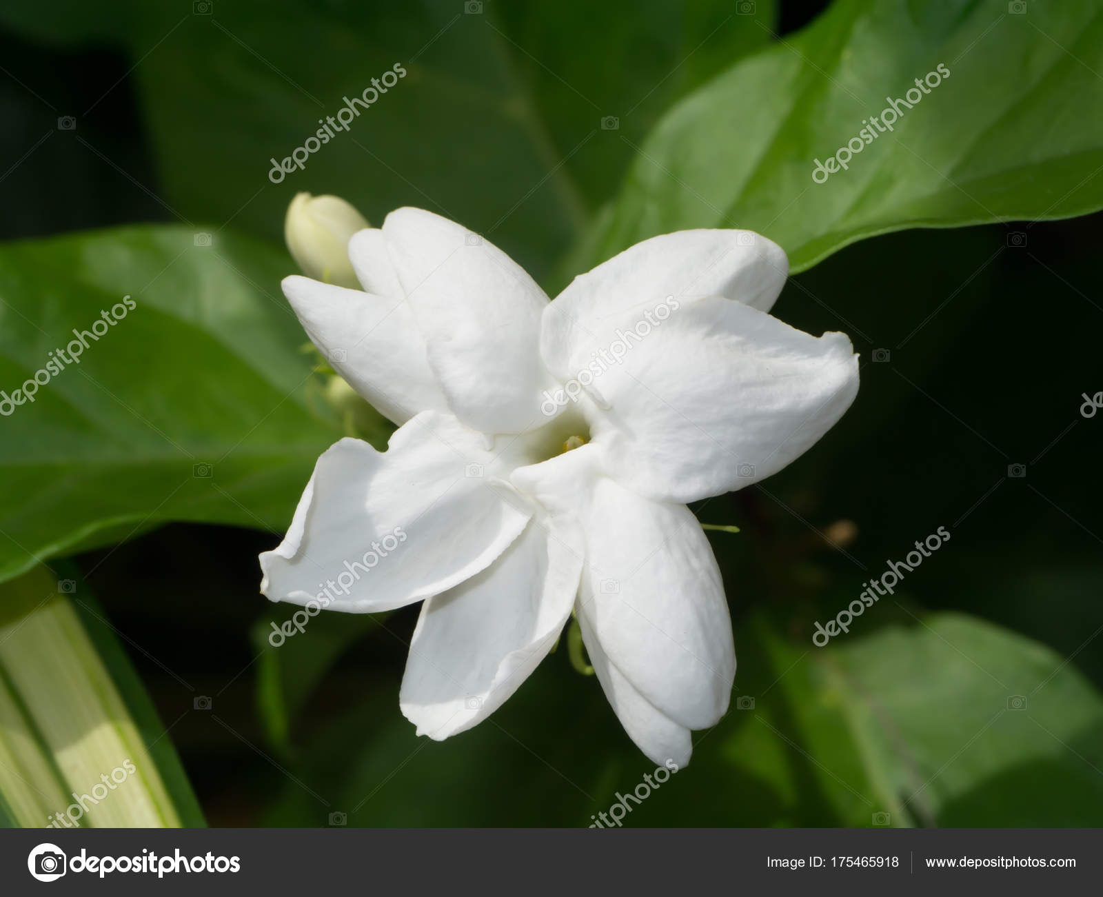 White Of Jasmine Flower With Green Leaf Stock Photo