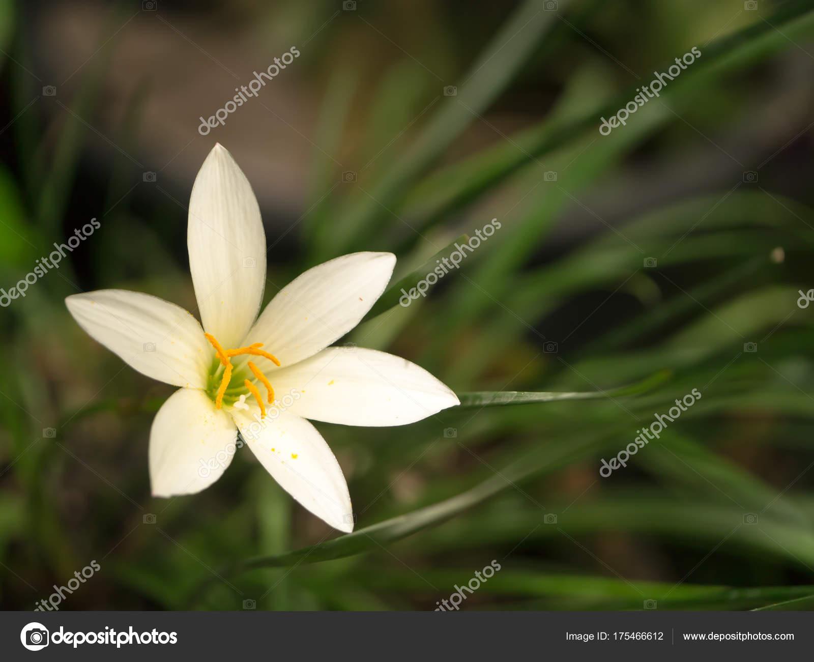 Beautiful Rain Lily Flower Stock Photo Noppharatth 175466612