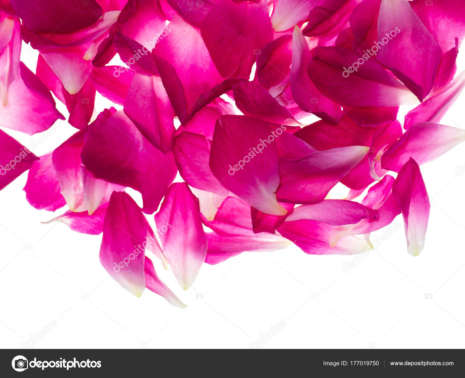 Pink Rose Petals For Rose Tea Stock Photo Noppharatth 177019750