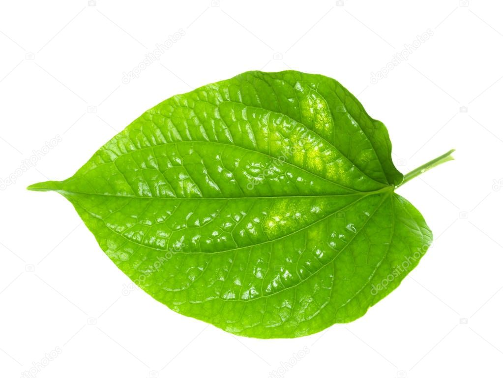 Green leaf of Wildbetal Leafbush plant.